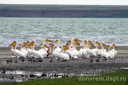 Гнездовая колония розового пеликана - представителя Красных книг РО и РФ, на озере Маныч-Гудило (фото Миноранский В.А.)
