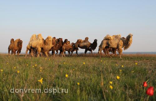 Верблюды Ассоциации «Живая природа степи» в окрестностях санатория «Маныч» (фото Миноранский В.А.)