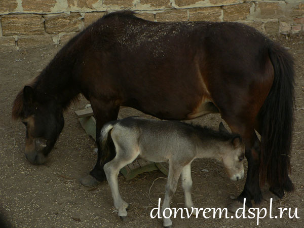 Пони и двухдневный малыш. Фото В. А. Миноранского