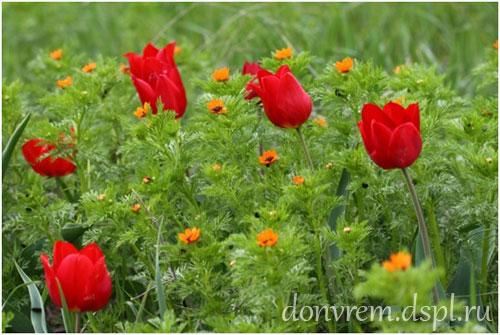 Степной букет из цветов тюльпанов и адониса. Фото С. В. Толчеевой