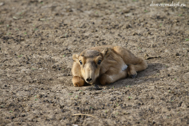 Сайгачонок, недавно родившийся. В Центре редких животных европейских степей