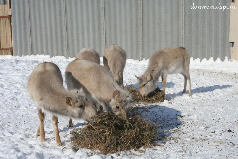 Молодые гайгаки в вольере Центра редких животных европейских степей в первую зиму