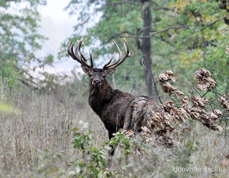 Олень в Александровском лесу