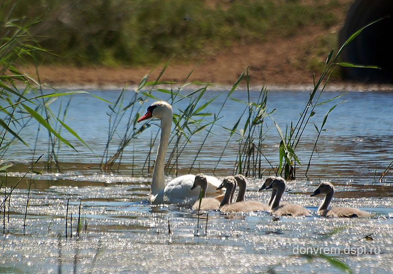 Лебеди на Маныче